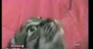 Gadający kotek