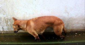 Pies zasypia na stojąco i wpada pyskiem do wody