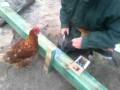 Dociekliwa kura