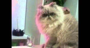 Kot, który wszystko zrzuca ze stolika. Czy coś go powstrzyma?