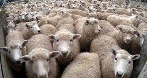 Złośliwe owce okrążają samochód