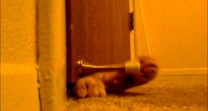 Koci budzik
