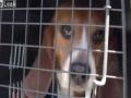 Wzruszające  uwolnienie 9 psów z laboratorium