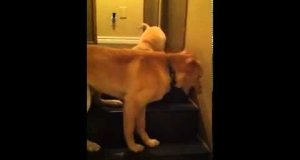 Duży pies uczy szczeniaka schodzić ze schodów