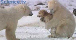 Niedźwiedzie i psy