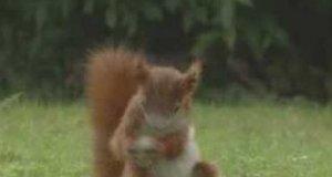 Wiewiórka w akcji