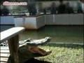 Zabawa z aligatorem