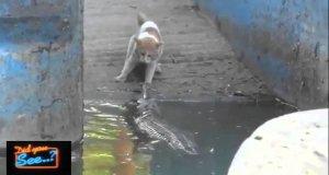 Kot vs krokodyl