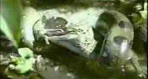 Wąż zjadł krokodyla