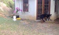 Lew podchodzi psa i nieźle go straszy