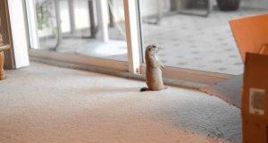 Zabawa pieska preriowego z kotem