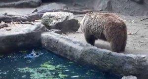 Niedźwiedź w ZOO uratował tonącego kruka