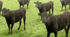 Krowy i krowy