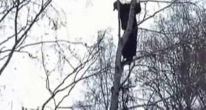 Niedźwiedź zagonił człowieka na drzewo