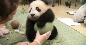 Mała Panda uwielbia zabawę z piłką