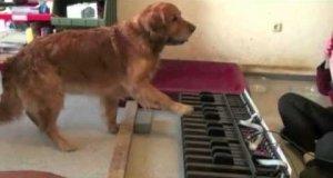 Pies z idealnym słuchem muzycznym