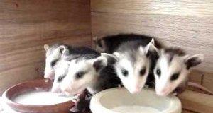 7 małych oposów pije mleko z miski