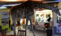 Do restauracji wchodzi żyrafa...