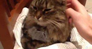 Kocia mama tuli małego kotka