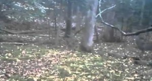 Bestia grasuje w lesie