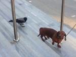 Ptak postanowił powkurzać jamnika