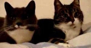 Gadające koty - wersja angielska