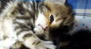 Kociak zasypia ssąc swojego kciuka