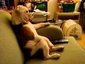 Buldog przed TV