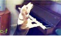Pies gra na pianinie i śpiewa jednocześnie