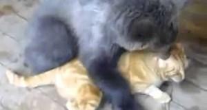 Twardy kocur, kopie tyłek niedźwiadkowi