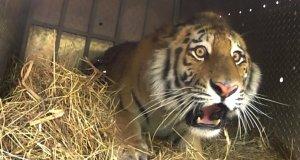 Epickie wypuszczenie tygrysa