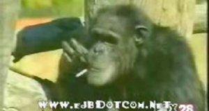 Palący szympans