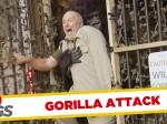 Atak dzikiego goryla - Ukryta kamera
