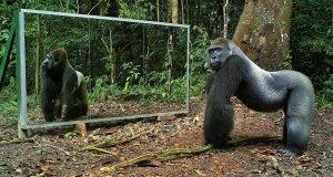 Jak dzikie zwierzęta zareagowały na własne odbicie?