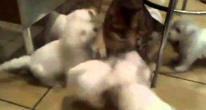 Atak psiaków na kota