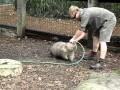 Wombat chce się pobawić
