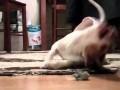 Pies eksploduje radością w czasie zabawy z myszą