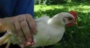 Zapatrzona kura