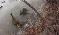 Trzy jelenie na zamarzniętym jeziorze