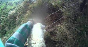Ratowanie owcy uwięzionej w siatce