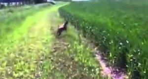 Psy vs wysoka roślinność