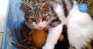 Kot zaopiekował się kaczuszkami