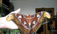Największy owad na świecie