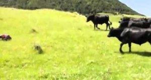 Krowy i zdalnie sterowany samochód