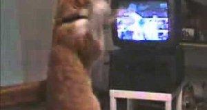 Kot ekscytuje się walką bokserską