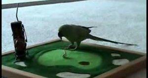 Tresowana papuga