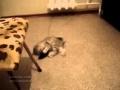 Kot skacze jak Ninja