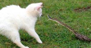 Kot vs wąż