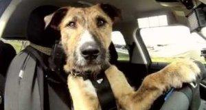 Poznajcie Portera - Psa, który jeździ samochodem