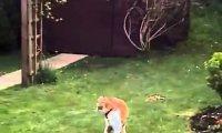 Lis vs 2 koty